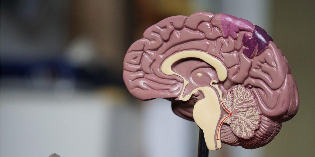 cross section of a brain model